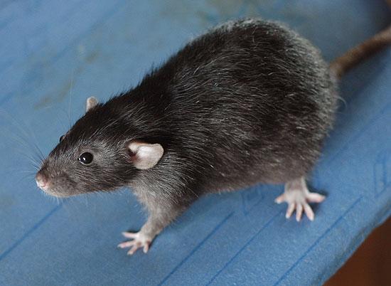 видео какова цвета бывают крысы фото для работы акварелью