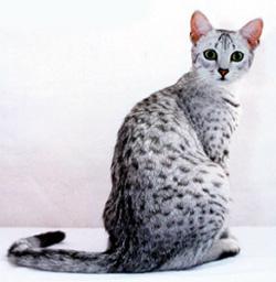Кот мао