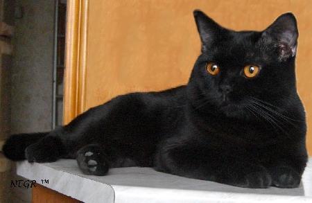 Британский черный кот негр