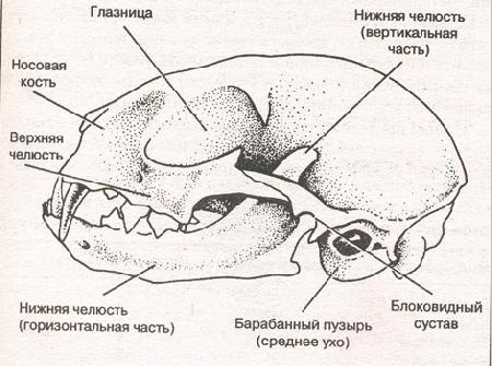 Кошачий череп имеет две
