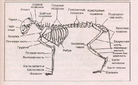 Основные кости скелета