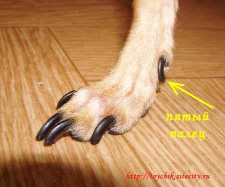 Как стричь той терьеру ногти