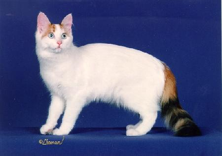 What does a true Van cat look like? - Так какая она ...